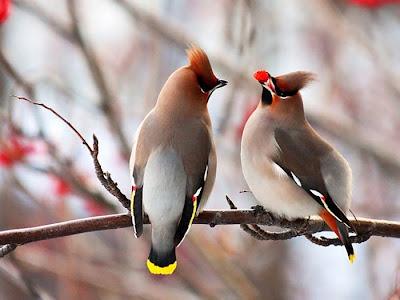 BirdsCedarWaxwings