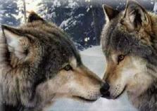wolf-wisdom