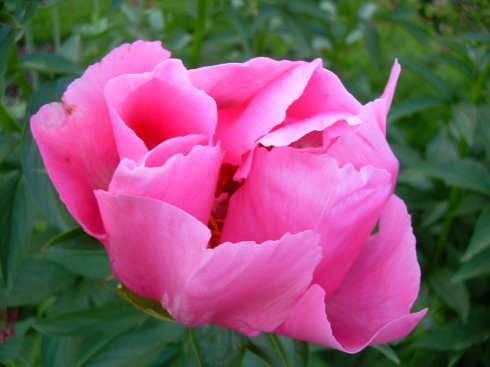 bright_pink_peony_blossom_by_panagyra-d51p4y9