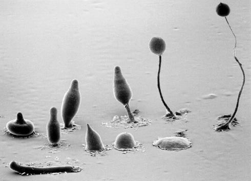 slime-mold-amoeba-dictybase-grimson-blanton